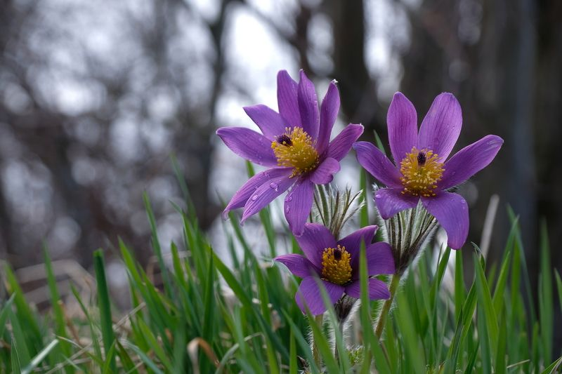 macro, flowers, floral, spring, pulsatilla patens, cutler anemone, norway, nature, purple, forest, water drops, Весеннее триоphoto preview