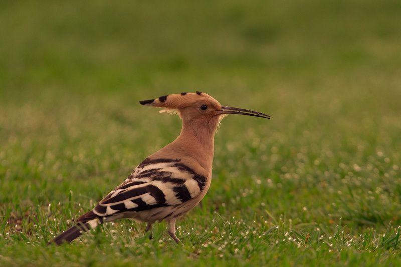 birds, upupa, wildlife, птицы, удод Удодphoto preview