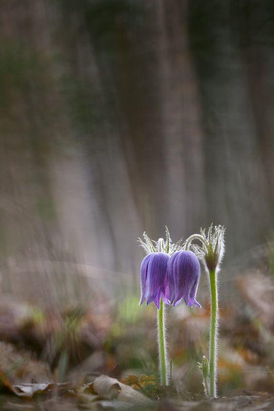 сон-трава, макрофотография, макро, природа, цветы, первоцветы, прострел, nature, macro, macrophotography Двоеphoto preview