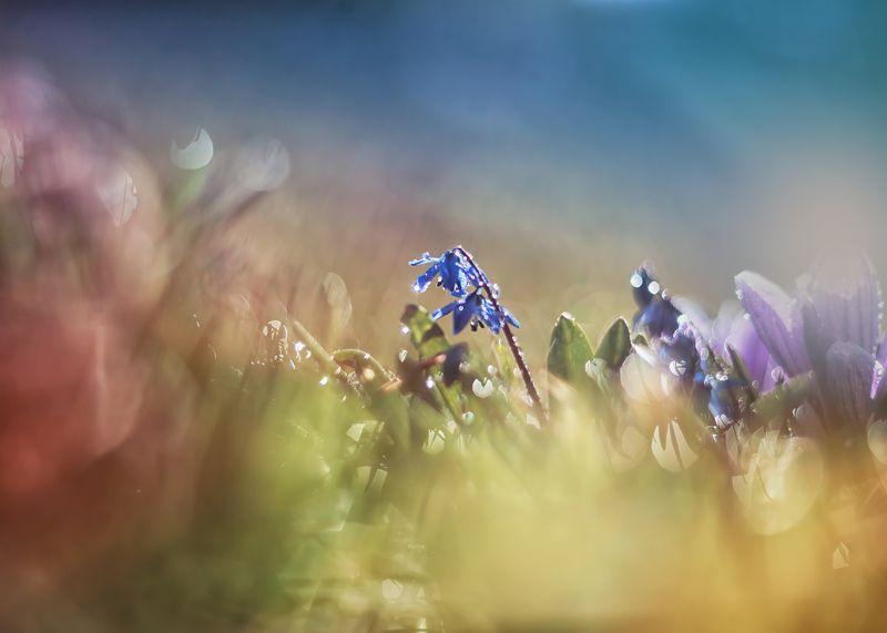 весна цветы пролески красота природа Пролескиphoto preview