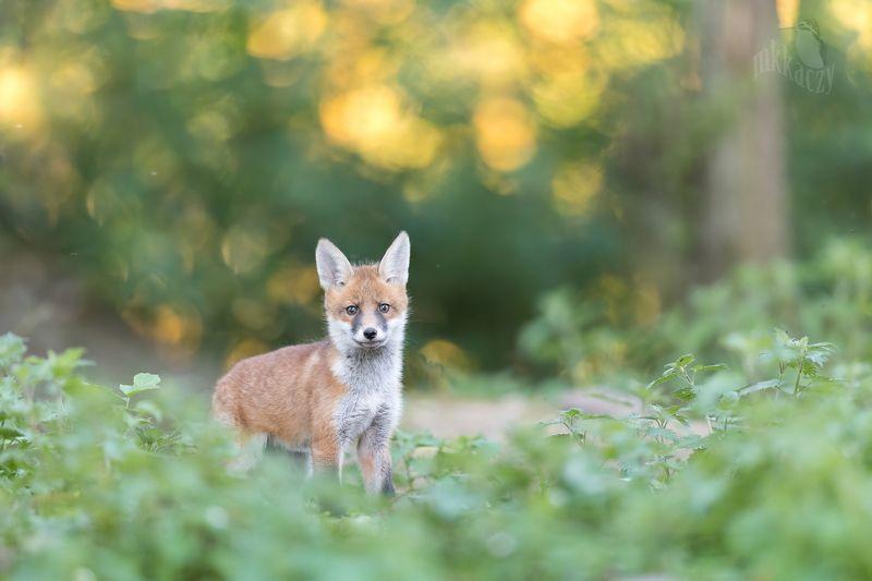 Fox cubphoto preview