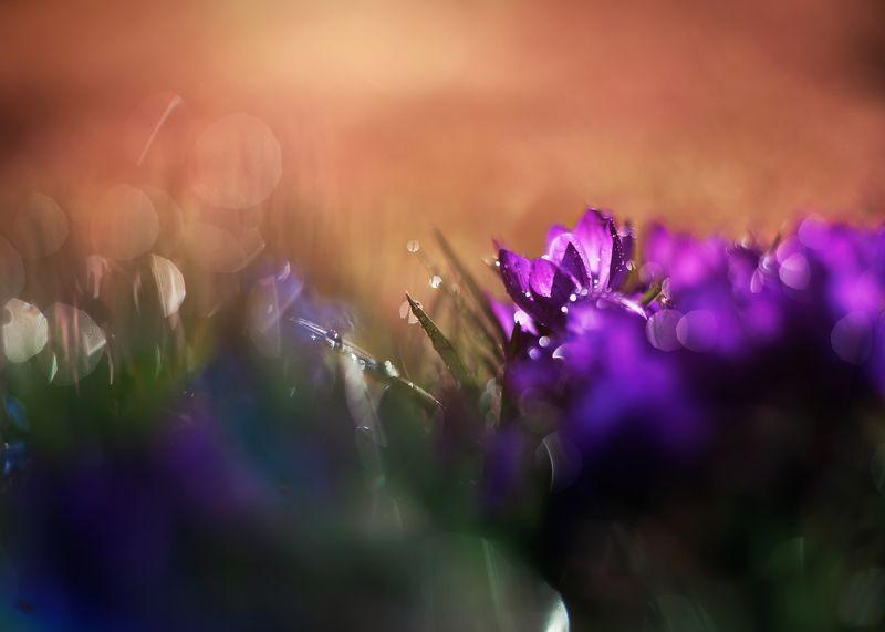 цветы весна крокусы пролески природа красота боке свет закат гелиос И снова о весенних цветах.photo preview