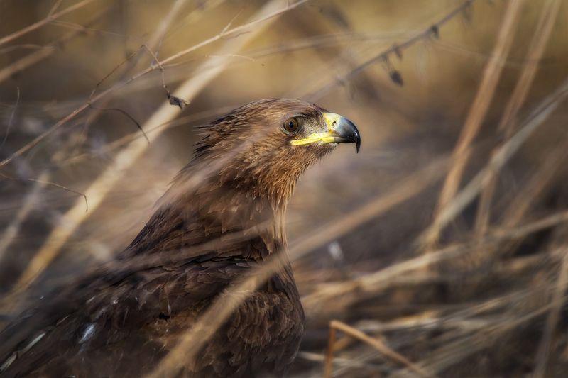 подорлик, хищник, портрет, птицы Портретphoto preview