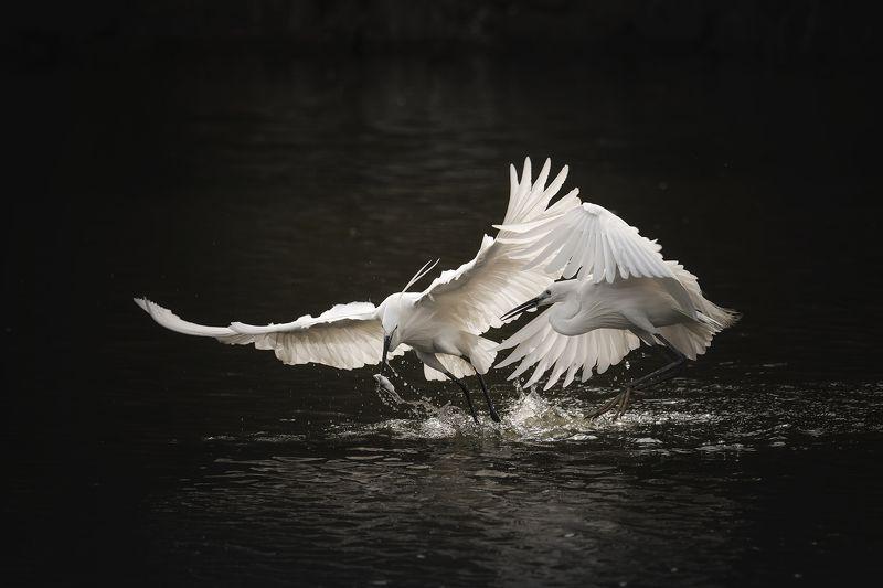 heron, birds, egret, nature, animal, wildlife Herons and fishphoto preview