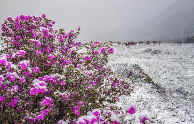 горный алтай,чемальский район,начало мая,цветение маральника Весенние контрасты...photo preview
