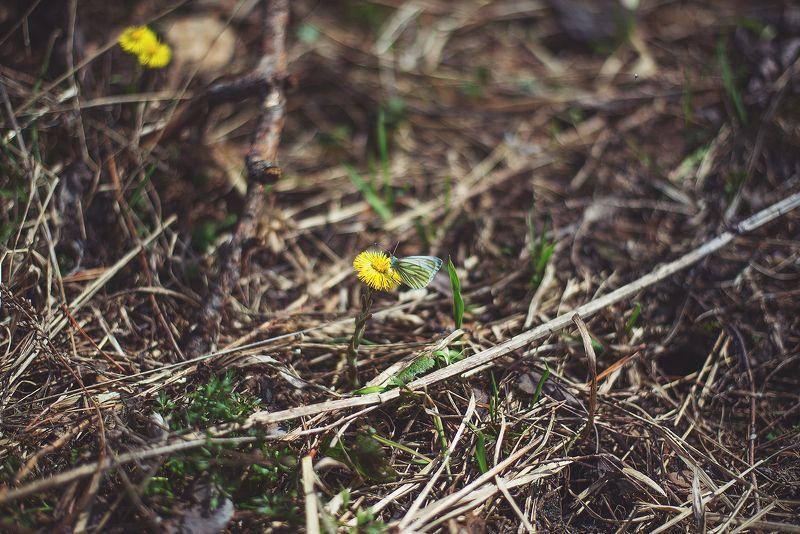 весна, бабочки, мать-и-мачеха Весеннее вдохновениеphoto preview