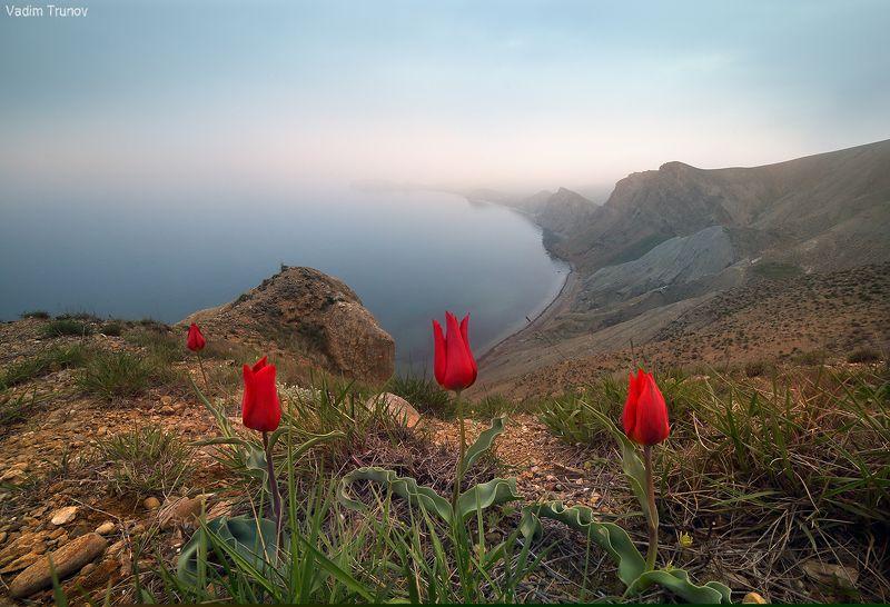 крым, тюльпаны Дикие тюльпаны Крымаphoto preview