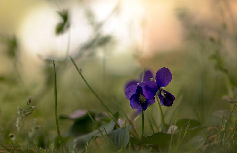 макро,цветы,природа,флора,фиалки,весна, Мы не можем друг без другаphoto preview