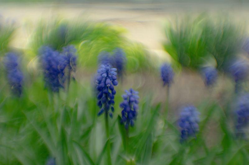 макро, цветы, весна, боке Мускариphoto preview