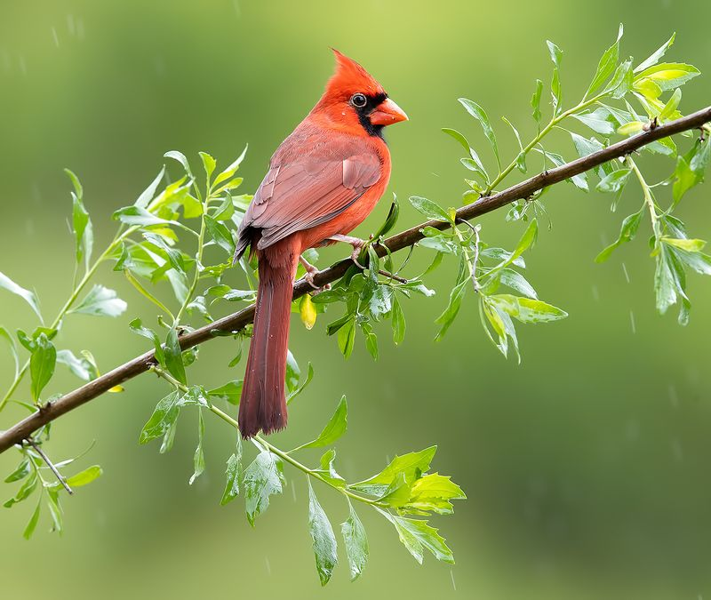 красный кардинал, northern cardinal, cardinal,кардинал Northern Cardinal male - Красный кардинал самецphoto preview