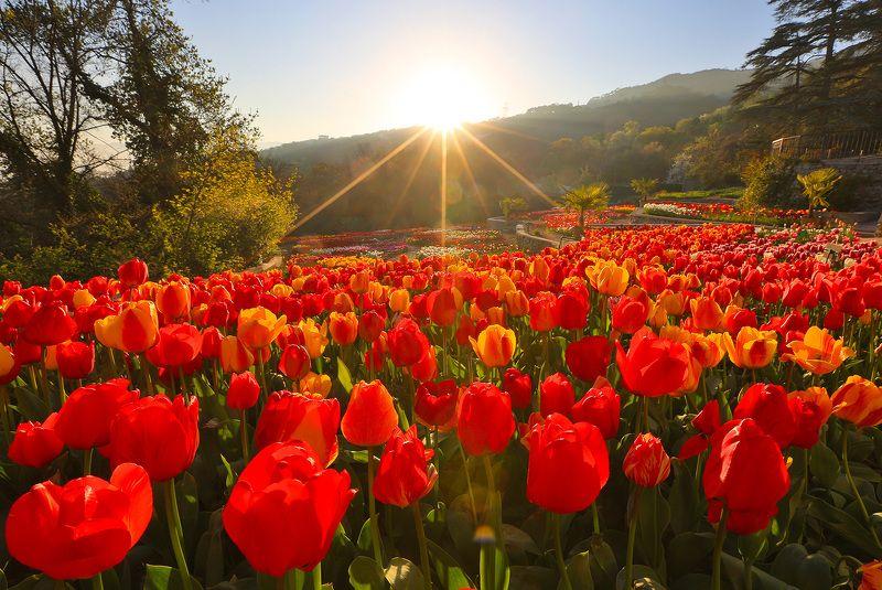 никитский сад, ялта, крым, никитский ботанический сад, ай-петри, черное море, выставка тюльпанов, тюльпаны, весна в ялте Выставка тюльпановphoto preview