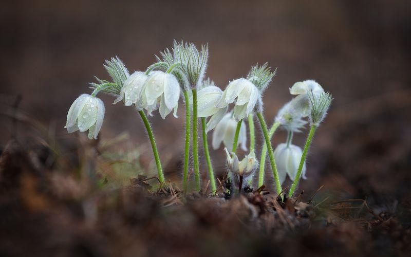 подснежники, сон-трава, весна Сибирские подснежники.photo preview