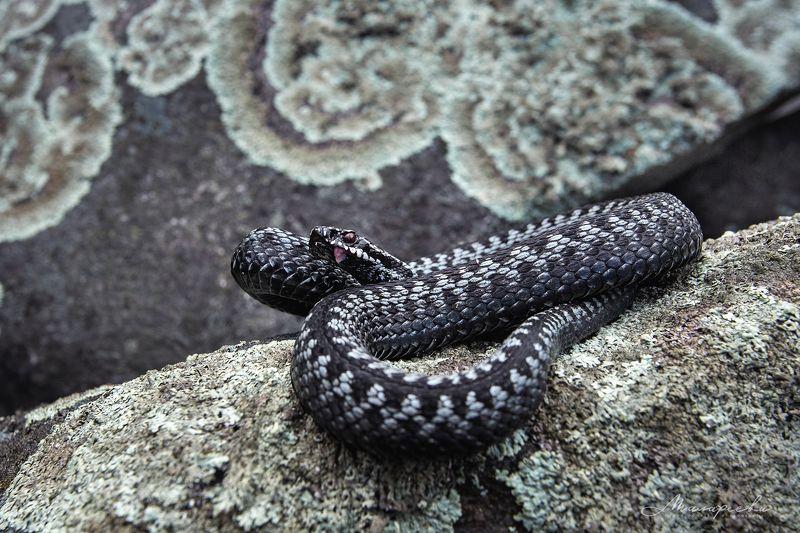 урал, гадюка, змея, рептилия Обыкновенная серая гадюкаphoto preview