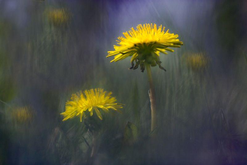 миламиронова, макро, весна, цветы, одуванчик, сон Весенний сон...photo preview