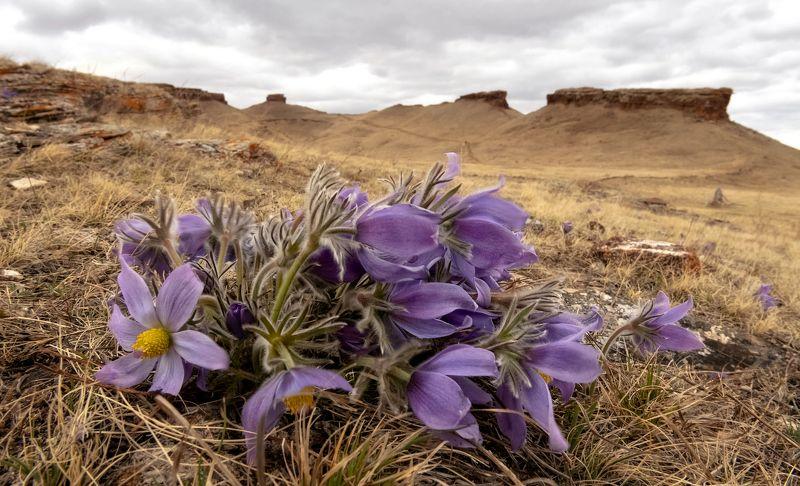 хакасия, сундуки, долина онло., подснежники. Весна на Сундуках.photo preview