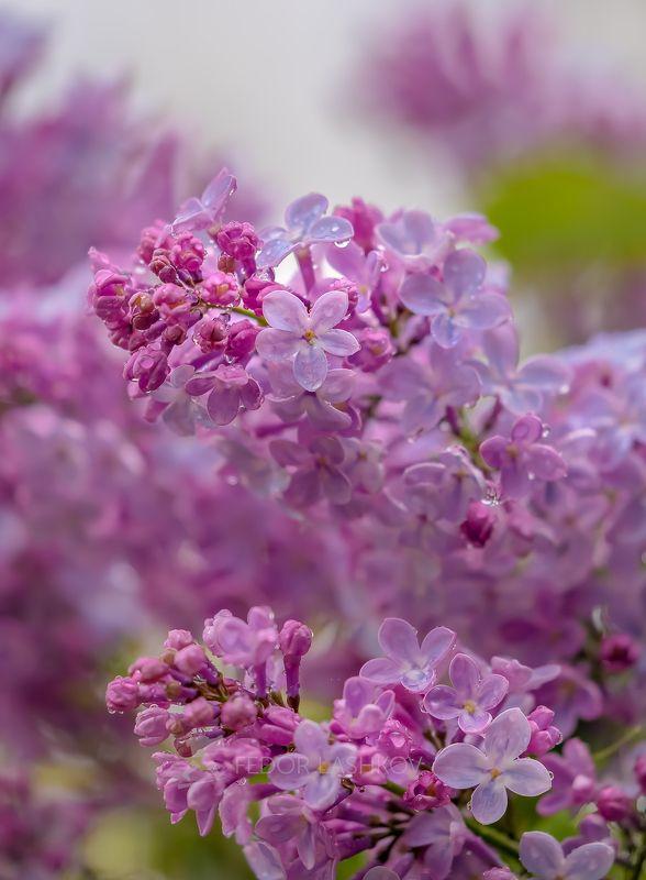 ставропольский край, ставрополье, весна, сирень, макро, дождь, капли, в каплях, сиреневое, цветы, цветение, Запах сирени с дождёмphoto preview