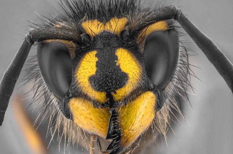 оса насекомое макро супермакро стекинг Оса фото превью