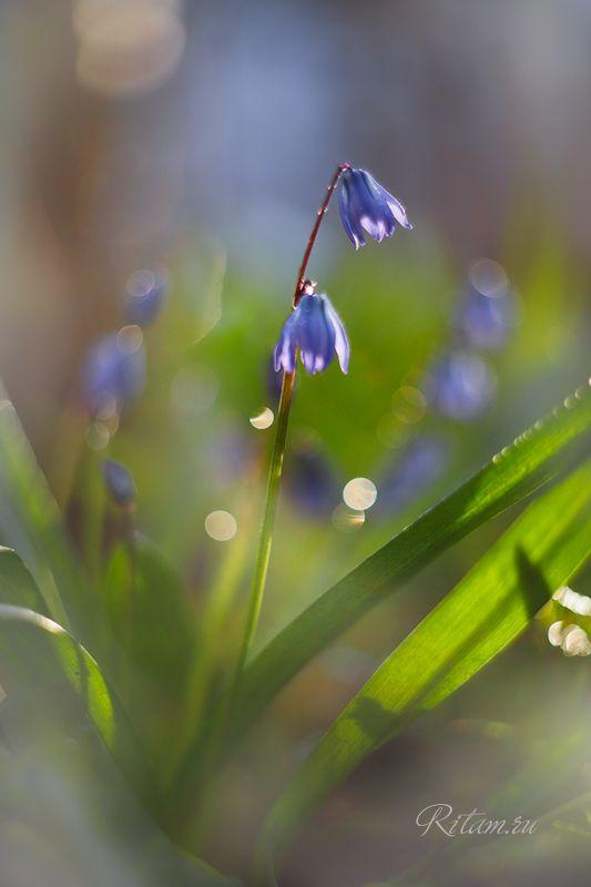 весна, spring, цветы, цветок, подснежники, подснежник, весенние цветы, первоцветы, flowers, flower, blossom, bloom, перелеска, перелески, боке, bokeh, макро, macro, closeup, гелиос, helios Весна / Springphoto preview