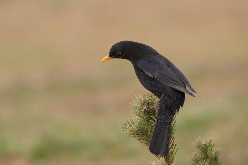 blackbirds, birds, nature, wildlife, canon Blackbirdphoto preview