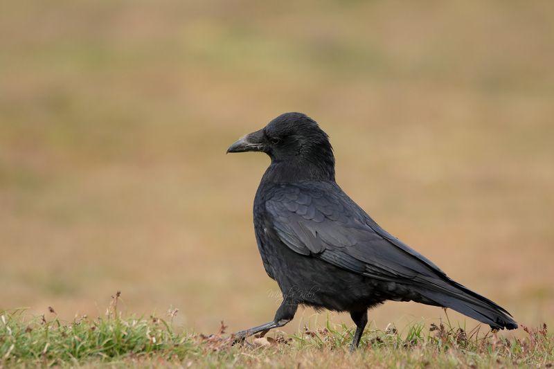 crow, birds, nature, wildlife, canon Crowphoto preview
