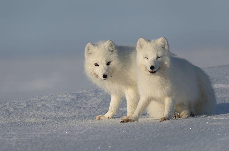 чукотка, арктика, тундра, весна, снег, песец, полярная лиса Весна...photo preview