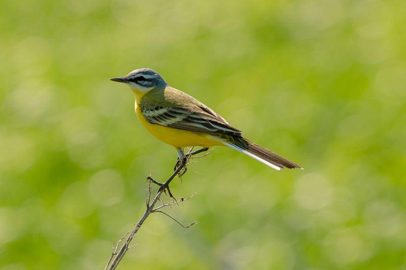 птицы, желтая трясогузка, wildlife, birds, весна, western yellow wagtail Желтая трясогузкаphoto preview