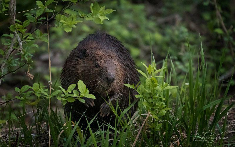 north american beaver, local wildlife, arlington club, wheeling, illinois, североамериканский бобр Дикие Местные | Североамериканский Бобрphoto preview