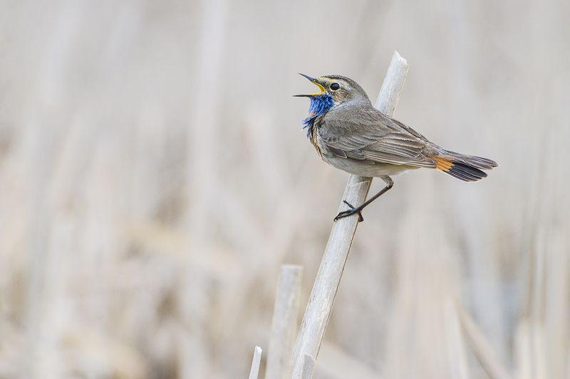 варакушка, птица, самец Сольный концертphoto preview