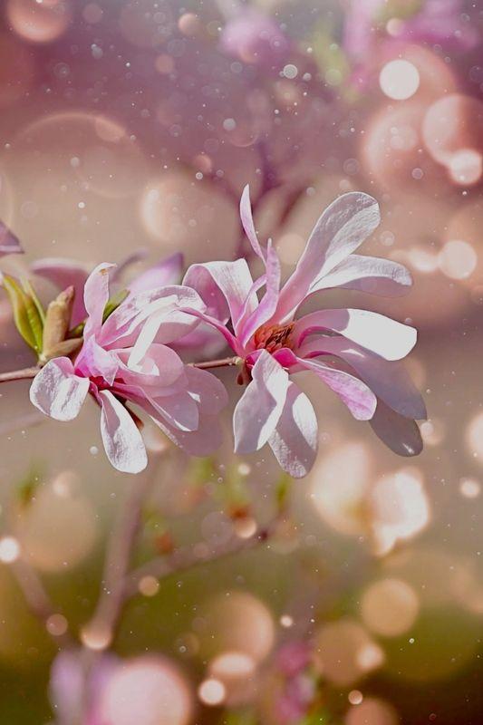 Magnolia фото превью