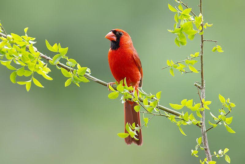 кардинал, красный кардинал, northern cardinal, cardinal Красный кардинал - Northern Cardinal malephoto preview