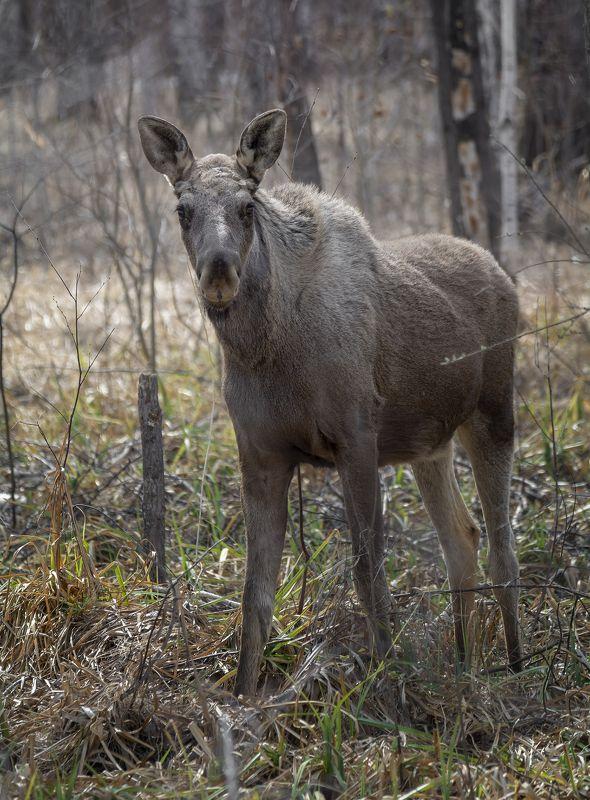дикие животные, лось, лес, лось (прошлогодка)photo preview