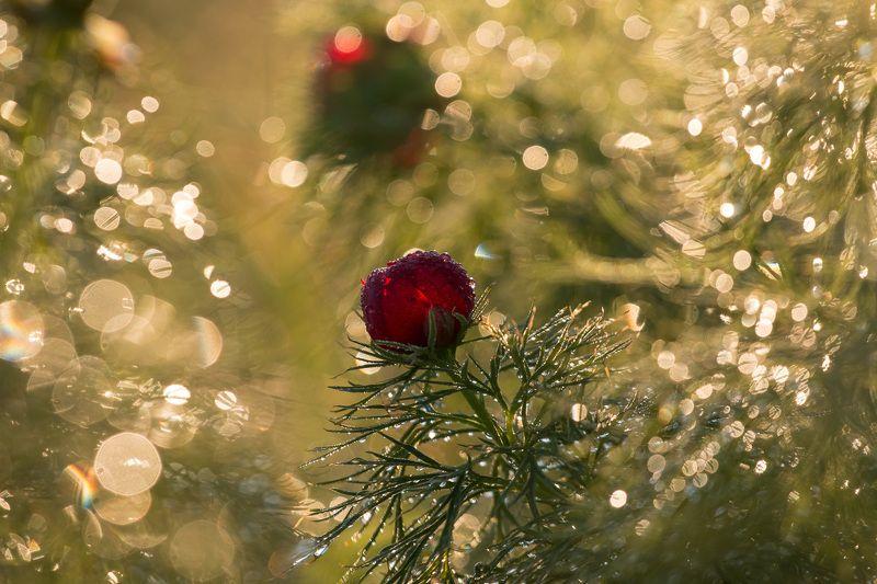 пион узколистный, воронец, весна, первоцветы, цветы, flowers, primulas, paeonia tenuifolia Пион узколистныйphoto preview
