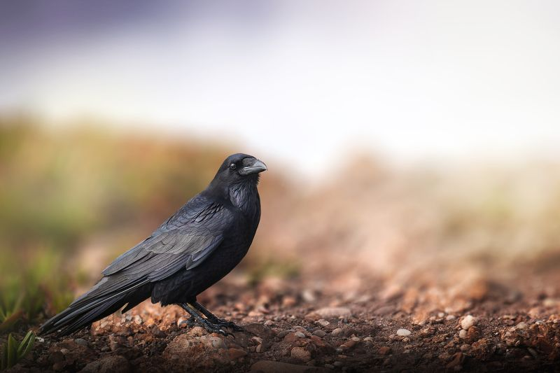raven, birds, animals, wildlife, nature The ravenphoto preview