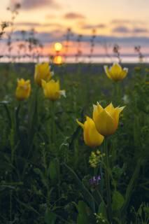 Тюльпан Шренка на просторах керченских степей