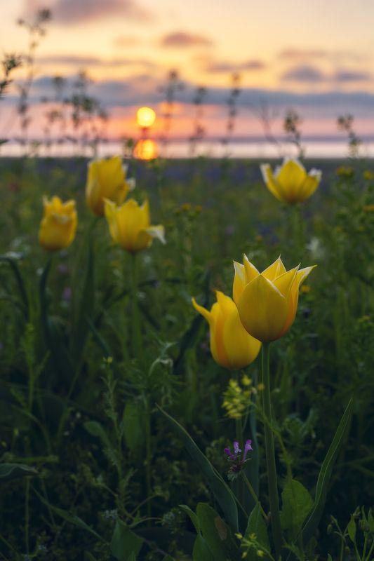 Тюльпан Шренка на просторах керченских степейphoto preview