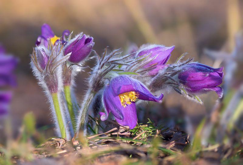 сон-трава Поклонение солнцуphoto preview