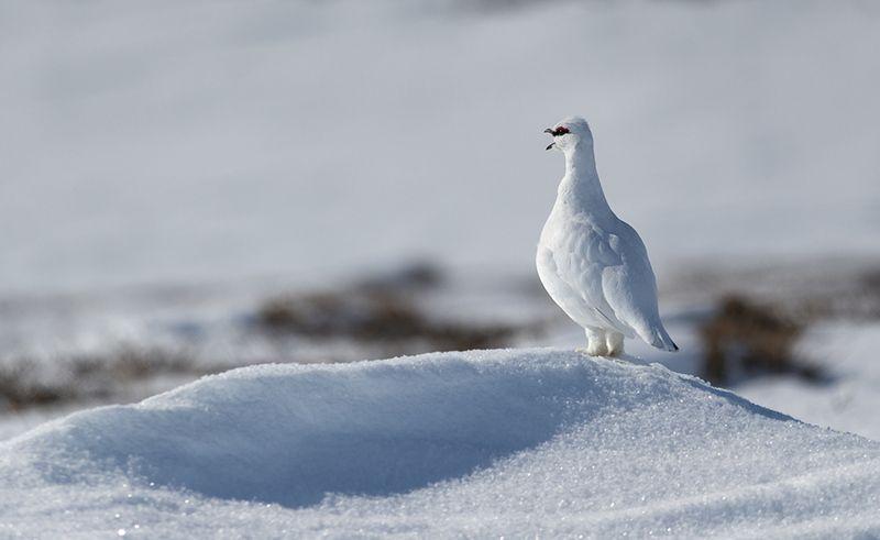 чукотка,арктика,север, тундра, птицы, куропатка, тундрянная куропатка Тундрянная куропатка - весна...photo preview