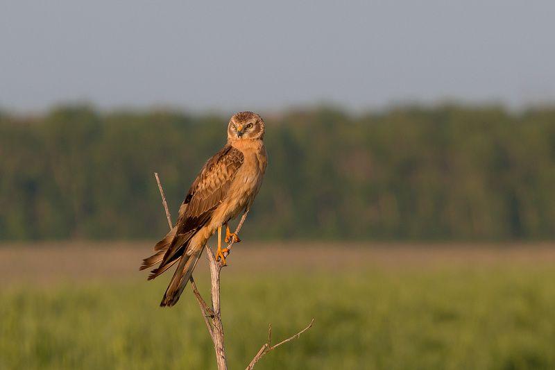 птицы, луговой лунь, wildlife, birds, весна, montagu\\\'s harrier Луговой лунь, самкаphoto preview