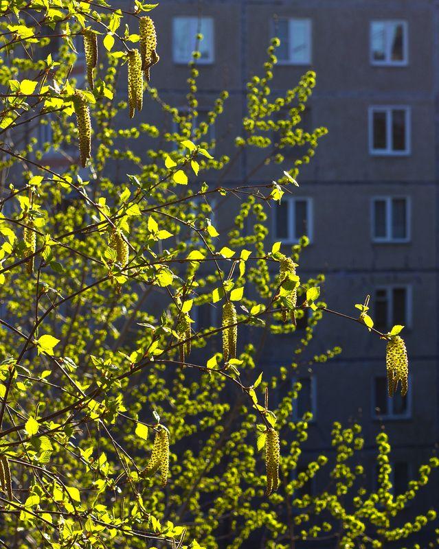 город,береза, весна, окна, многоэтажка, Майphoto preview