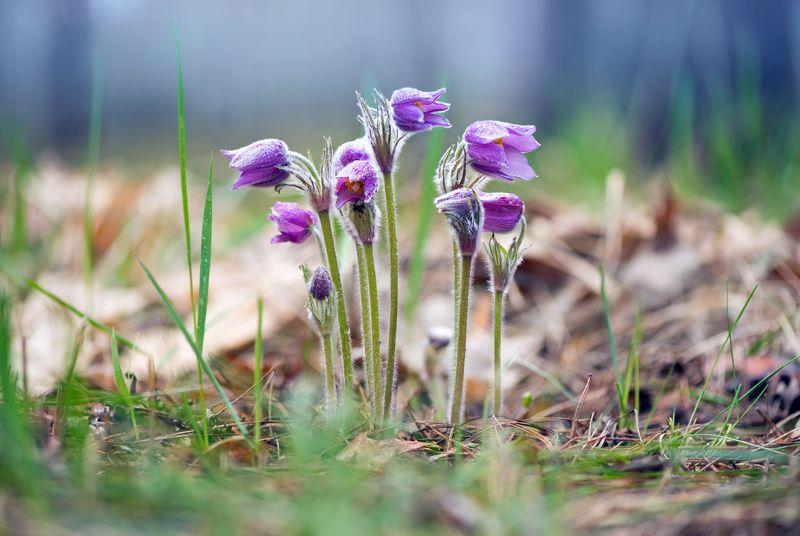 сон-трава Купаясь в солнечный лучахphoto preview