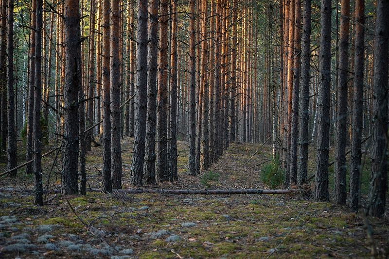 мещёра, рязанская область, сосны, весна, сосновый лес, мох В коридорах весныphoto preview