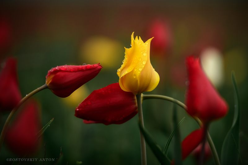 Калмыкия, фототур, тюльпаны, цветы, Россия, После дождя фото превью