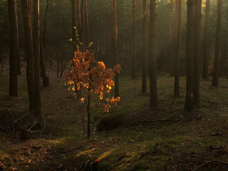 nature, landscape, colors, sunrise, tree morning in forestphoto preview
