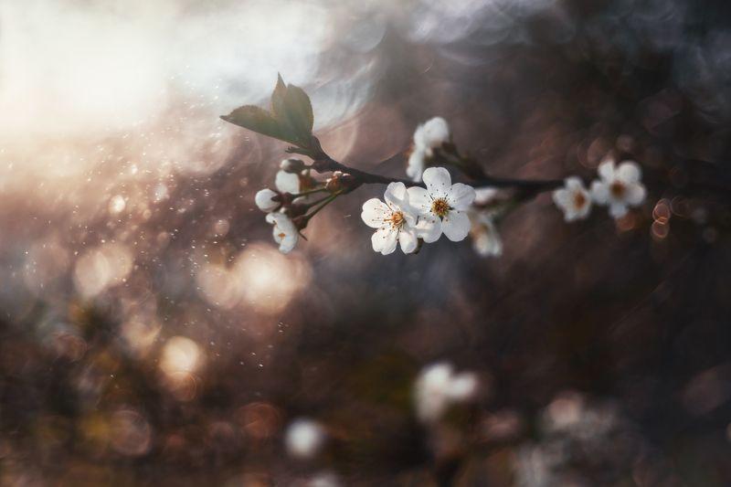 Цветение вишни фото превью