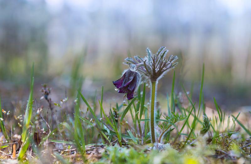 сон-трава В гордом одиночествеphoto preview