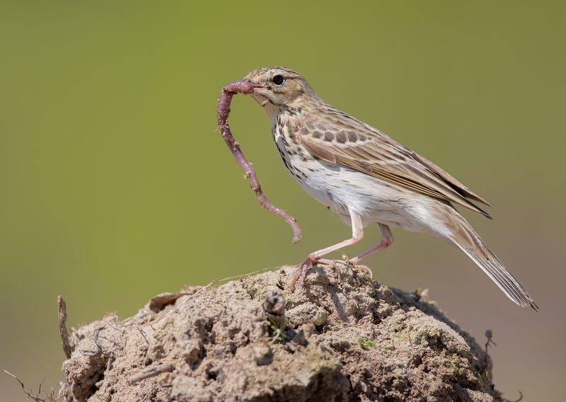 птицы,природа, весна Обед лесного конькаphoto preview