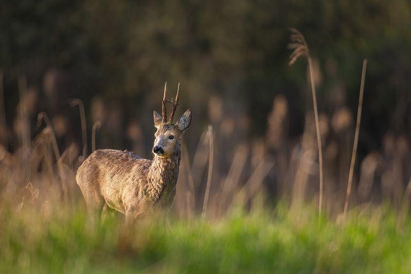 #roebuck #wildphotography #nature #animals #polska Roebuckphoto preview