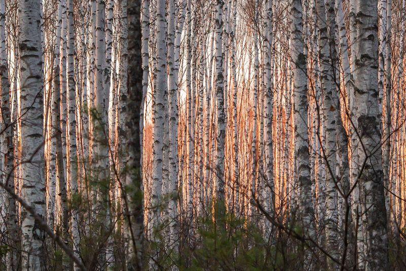 мещёра, рязанская область, березы, сосны, весна, сосновый лес, березовая роща, мох Pro ритмы весеннего лесаphoto preview