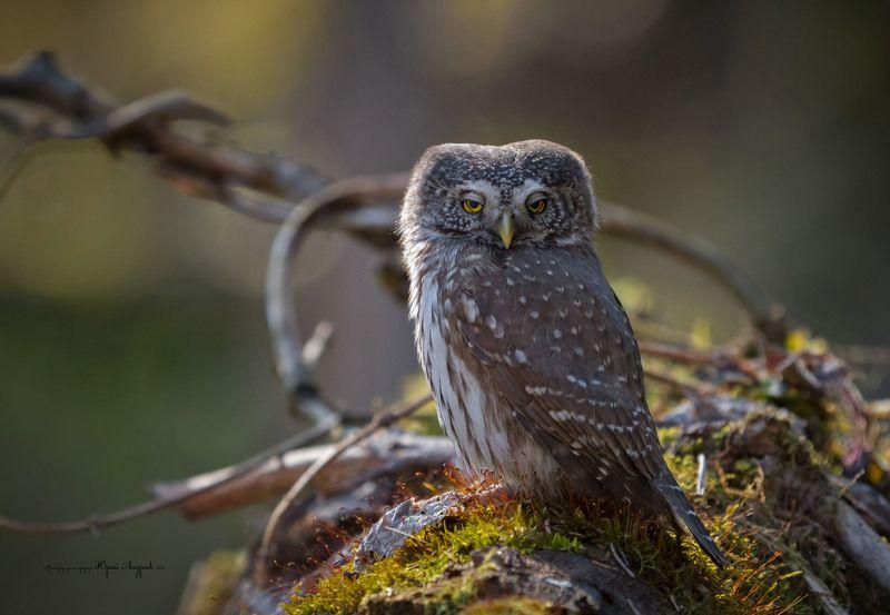 сыч-воробей,  eurasian pygmy-owl, сова, мигание, подмигивание Мигаем и подмигиваем... фото превью