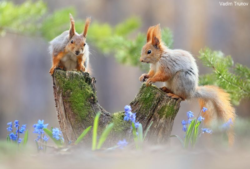 белка, весна, squirrel Бельчата фото превью